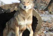 Red Wolves / by Riley Mixson