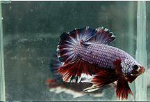 bettaFish2