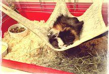 Guinea pig / Orna