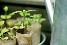 Seedlings to grow cheaply