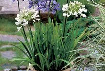 Agapanthus in pots