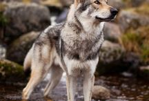 Dominance - Love - Beauty (Wolfdogs)