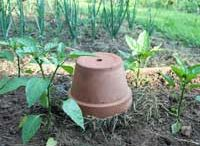 Dryland Gardening. / How to grow your best garden possible when water is at a premium.