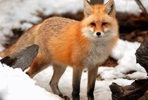 ♥ lovely fox / i love all fox. they are so cute. / by FUEY ***