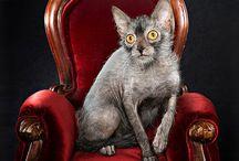 Krótkowłose rasy kotów / Tablica poświęcona kocim rasom - ich wyglądowi, zachowaniu, charakterowi, pochodzeniu itd.