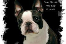 Boston Terriers / all things Boston-Terrier-related / by Jan.Ice Lee
