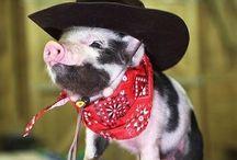 Teacup pigs(: