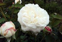 Historic Roses