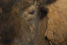 The Durham Bison Ranch