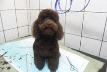Dwarf Poodle Bo / Dwergpoedel Bo / Our brown dwarf poodle Bo. / Onze bruine dwergpoedel Bo.
