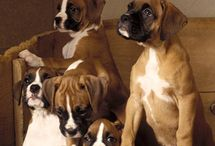 Boxers one of our favorite breeds / by Tammy Linton