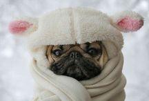 Pug/Mops