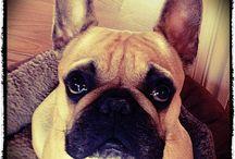 Fiona / Fransk bulldog