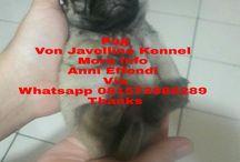 Von Javelline Kennel jual anjing Pug