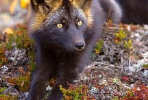 ♡SILVER FOX♡