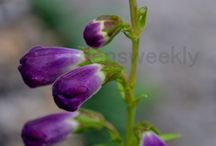 Penstemon (Family - Plantaginaceae) / Penstemon, the beardtongues, is a large genus of North American and East Asian flowering plants formerly placed in the Scrophulariaceae family. Due to new genetic research, it has now been placed in the vastly expanded family Plantaginaceae