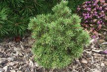 Pinus sylvestris-Erdeifenyő
