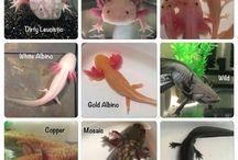 the axolotls