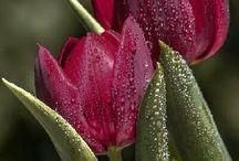 V. Tulipán