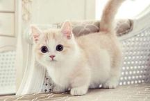 Munchkin Cat / I'm not really a cat person, but these are just too cute!