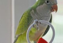 Quaker Parrot / The quaker parakeet, also called the quaker parrot and the monk parakeet/parrot, a native of South America and is very popular as a pet parrot.