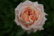 Salmon / Apricot and Orange Roses