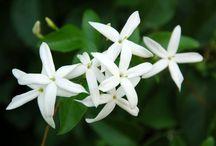 Kvetiny