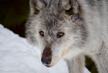 (Canada)British Columbia / News, information and status of wolves in British Columbia