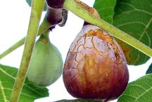 Orchard / Everything related to having a home orchard! How to care for fruit trees, hints & tricks, information on different varieties and helpful information.