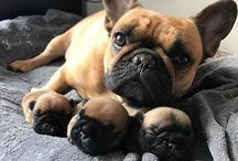 french bulldog / It is very sugary but I do not think so and how a re you to vote for it ?