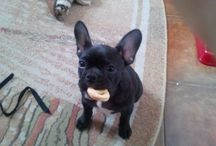 My French puppy ( Kara)