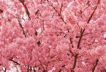 Cherry blossom / public