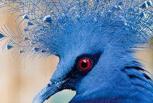 Fauna - птицы - венценосный Голубь
