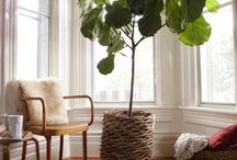Fiddle Leaf Fig Trees / by thismamathing