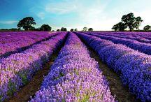 Lavender / by Aries