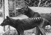 Animals - Tasmanian Tiger/Thylacine