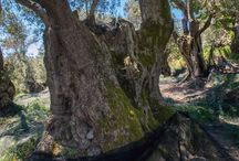 Pamako Ultra premium Mountain EVOO / Olive oil harvest 2016/2017
