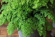 Ferns MaidenHair Plants