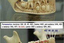 Morfologie dentara.