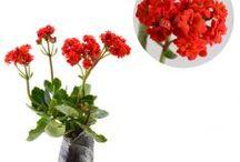 Kalanchoe / Semua tanaman dalam board ini bisa dikirim keseluruh Indonesia, silahkan order ya, tel: 0341-599399 I SMS center: 08569020300 atau kunjungi website kami www.kebunbibit.id