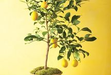 Growing indoor citrus