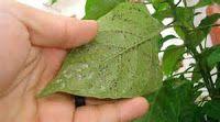 Plagas en  cultivos orgánicos, huertas  y jardines / Productos orgánicos  y accesorios ecológicos par ale cuidado del huertas y jardines.