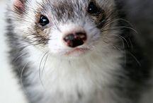 Ferret / Adorbs