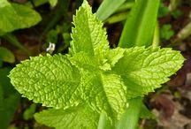 plantes epices