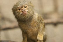 Titi Leon/Pygmy Marmoset / Los monos pequeños son una  de las principales víctimas del comercio ilegal de mascota. Small monkeys are one of the greatest victims of illegal pet trade.