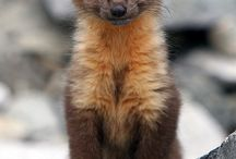 Weasels / Weasels are the cutest people