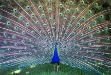 peacocks / by Jenn Criss