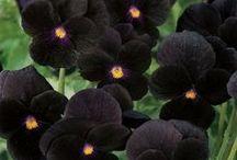 čierne kvety