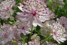 Some alternatives / Astrantia 'Buckland', Kniphofia 'Drummore Apricot' and Persicaria affinis 'Superba'