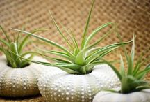 Airplants / Tillandsia's